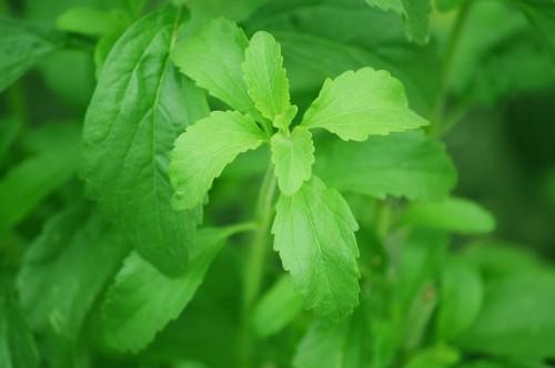 hogyan kell használni a stevia-t magas vérnyomás esetén venarus és a magas vérnyomás