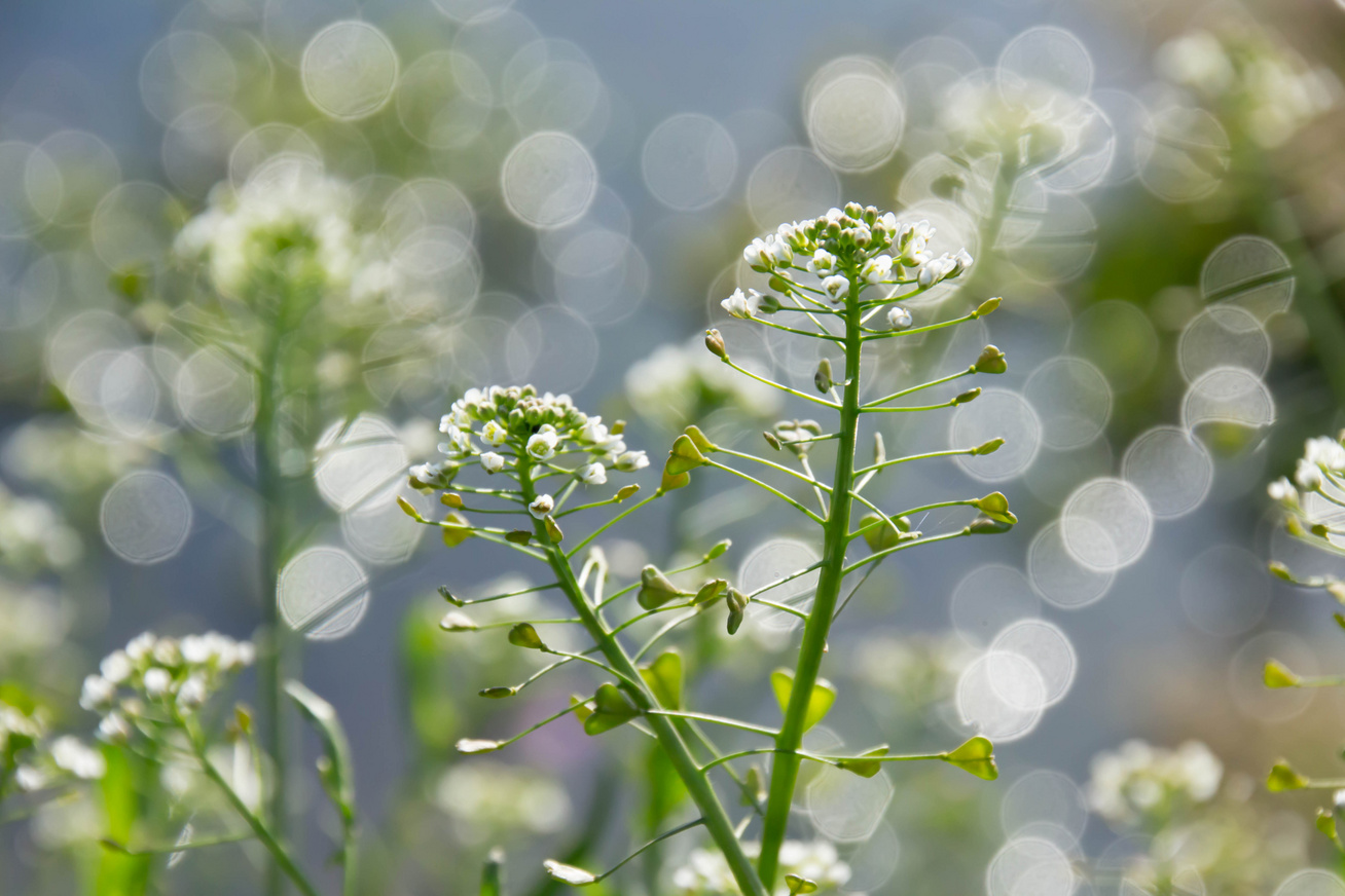 magas vérnyomás esetén alkalmazott növények Magas vérnyomással viszik-e az FSB-be